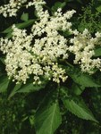 "Schwarzer Holunder - Sambucus nigra; Bildquelle: <a href=""http://www.pflanzen-deutschland.de/quellen.php?bild_quelle=Wikipedia User Biloucommonswiki"">Wikipedia User Biloucommonswiki</a>; Bildlizenz: <a href=""https://creativecommons.org/licenses/by-sa/3.0/deed.de"" target=_blank title=""Namensnennung - Weitergabe unter gleichen Bedingungen 3.0 Unported (CC BY-SA 3.0)"">CC BY-SA 3.0</a>; <br>Wiki Commons Bildbeschreibung: <a href=""https://commons.wikimedia.org/wiki/File:Sambucus_nigra1.jpg"" target=_blank title=""https://commons.wikimedia.org/wiki/File:Sambucus_nigra1.jpg"">https://commons.wikimedia.org/wiki/File:Sambucus_nigra1.jpg</a>"