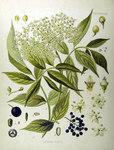 """Schwarzer Holunder - Sambucus nigra; Bildquelle: <a href=""""https://www.pflanzen-deutschland.de/quellen.php?bild_quelle=Köhlers Medizinal-Pflanzen in naturgetreuen Abbildungen mit kurz erläuterndem Texte. Band 1. 1887"""">Köhlers Medizinal-Pflanzen in naturgetreuen Abbildungen mit kurz erläuterndem Texte. Band 1. 1887</a>; Bildlizenz: <a href=""""https://creativecommons.org/licenses/publicdomain/deed.de"""" target=_blank title=""""Public Domain"""">Public Domain</a>;"""