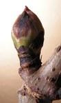 """Trauben-Holunder - Sambucus racemosa; Bildquelle: <a href=""""https://www.pflanzen-deutschland.de/quellen.php?bild_quelle=Wikipedia User Bff"""">Wikipedia User Bff</a>; Bildlizenz: <a href=""""https://creativecommons.org/licenses/by-sa/3.0/deed.de"""" target=_blank title=""""Namensnennung - Weitergabe unter gleichen Bedingungen 3.0 Unported (CC BY-SA 3.0)"""">CC BY-SA 3.0</a>; <br>Wiki Commons Bildbeschreibung: <a href=""""https://commons.wikimedia.org/wiki/File:Sambucus_racemosa20100329_25.jpg"""" target=_blank title=""""https://commons.wikimedia.org/wiki/File:Sambucus_racemosa20100329_25.jpg"""">https://commons.wikimedia.org/wiki/File:Sambucus_racemosa20100329_25.jpg</a>"""