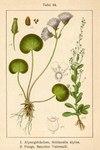"""Salz-Bunge - Samolus valerandi; Bildquelle: <a href=""""https://www.pflanzen-deutschland.de/quellen.php?bild_quelle=Deutschlands Flora in Abbildungen 1796"""">Deutschlands Flora in Abbildungen 1796</a>; Bildlizenz: <a href=""""https://creativecommons.org/licenses/publicdomain/deed.de"""" target=_blank title=""""Public Domain"""">Public Domain</a>;"""
