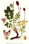 "Großer Wiesenknopf - Sanguisorba officinalis; Bildquelle: <a href=""https://www.pflanzen-deutschland.de/quellen.php?bild_quelle=Carl Axel Magnus Lindman Bilder ur Nordens Flora 1901-1905"">Carl Axel Magnus Lindman Bilder ur Nordens Flora 1901-1905</a>; Bildlizenz: <a href=""https://creativecommons.org/licenses/publicdomain/deed.de"" target=_blank title=""Public Domain"">Public Domain</a>;"