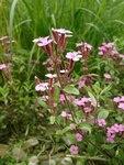 """Rot-Seifenkraut - Saponaria ocymoides; Bildquelle: © <a href=""""https://www.pflanzen-deutschland.de/quellen.php?bild_quelle=Bönisch 2009"""">Bönisch 2009</a> - <b>All rights reserved</b>"""