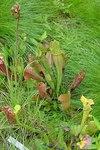 """Braunrote Schlauchpflanze - Sarracenia purpurea; Bildquelle: <a href=""""https://www.pflanzen-deutschland.de/quellen.php?bild_quelle=Leo Michels, Untereisesheim"""">Leo Michels, Untereisesheim</a>; Bildlizenz: <a href=""""https://creativecommons.org/licenses/by-sa/3.0/deed.de"""" target=_blank title=""""Namensnennung - Weitergabe unter gleichen Bedingungen 3.0 Unported (CC BY-SA 3.0)"""">CC BY-SA 3.0</a>;"""