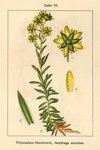 "Fetthennen-Steinbrech - Saxifraga aizoides; Bildquelle: <a href=""https://www.pflanzen-deutschland.de/quellen.php?bild_quelle=Deutschlands Flora in Abbildungen 1796"">Deutschlands Flora in Abbildungen 1796</a>; Bildlizenz: <a href=""https://creativecommons.org/licenses/publicdomain/deed.de"" target=_blank title=""Public Domain"">Public Domain</a>;"