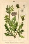 "Tauben-Skabiose - Scabiosa columbaria; Bildquelle: <a href=""https://www.pflanzen-deutschland.de/quellen.php?bild_quelle=Deutschlands Flora in Abbildungen 1796"">Deutschlands Flora in Abbildungen 1796</a>; Bildlizenz: <a href=""https://creativecommons.org/licenses/publicdomain/deed.de"" target=_blank title=""Public Domain"">Public Domain</a>;"