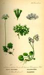 """Schweizer Mannsschild - Androsace helvetica; Bildquelle: <a href=""""https://www.pflanzen-deutschland.de/quellen.php?bild_quelle=Prof. Dr. Otto Wilhelm Thome Flora von Deutschland, Österreich und der Schweiz 1885, Gera, Germany"""">Prof. Dr. Otto Wilhelm Thome Flora von Deutschland, Österreich und der Schweiz 1885, Gera, Germany</a>; Bildlizenz: <a href=""""https://creativecommons.org/licenses/publicdomain/deed.de"""" target=_blank title=""""Public Domain"""">Public Domain</a>;"""