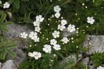"""Milchweißer Mannsschild - Androsace lactea; Bildquelle: <a href=""""https://www.pflanzen-deutschland.de/quellen.php?bild_quelle=Wikipedia User Pmau"""">Wikipedia User Pmau</a>; Bildlizenz: <a href=""""https://creativecommons.org/licenses/by-sa/3.0/deed.de"""" target=_blank title=""""Namensnennung - Weitergabe unter gleichen Bedingungen 3.0 Unported (CC BY-SA 3.0)"""">CC BY-SA 3.0</a>; <br>Wiki Commons Bildbeschreibung: <a href=""""https://commons.wikimedia.org/wiki/File:Androsace_lactea,_Creux_du_Van_-_img_43496.jpg"""" target=_blank title=""""https://commons.wikimedia.org/wiki/File:Androsace_lactea,_Creux_du_Van_-_img_43496.jpg"""">https://commons.wikimedia.org/wiki/File:Androsace_lactea,_Creux_du_Van_-_img_43496.jpg</a>"""