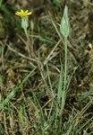 """Schlitzblättrige Schwarzwurzel - Scorzonera laciniata; Bildquelle: <a href=""""https://www.pflanzen-deutschland.de/quellen.php?bild_quelle=Wikipedia User Fornax"""">Wikipedia User Fornax</a>; Bildlizenz: <a href=""""https://creativecommons.org/licenses/by-sa/3.0/deed.de"""" target=_blank title=""""Namensnennung - Weitergabe unter gleichen Bedingungen 3.0 Unported (CC BY-SA 3.0)"""">CC BY-SA 3.0</a>;"""