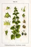"""Frühlings-Braunwurz - Scrophularia vernalis; Bildquelle: <a href=""""https://www.pflanzen-deutschland.de/quellen.php?bild_quelle= Deutschlands Flora in Abbildungen, Johann Georg Sturm, 1796""""> Deutschlands Flora in Abbildungen, Johann Georg Sturm, 1796</a>; Bildlizenz: <a href=""""https://creativecommons.org/licenses/publicdomain/deed.de"""" target=_blank title=""""Public Domain"""">Public Domain</a>;"""