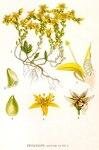 """Scharfer Mauerpfeffer - Sedum acre; Bildquelle: <a href=""""https://www.pflanzen-deutschland.de/quellen.php?bild_quelle=Carl Axel Magnus Lindman Bilder ur Nordens Flora 1901-1905"""">Carl Axel Magnus Lindman Bilder ur Nordens Flora 1901-1905</a>; Bildlizenz: <a href=""""https://creativecommons.org/licenses/publicdomain/deed.de"""" target=_blank title=""""Public Domain"""">Public Domain</a>;"""