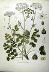 """Kleine Bibernelle - Pimpinella saxifraga; Bildquelle: <a href=""""https://www.pflanzen-deutschland.de/quellen.php?bild_quelle=Köhlers Medizinal-Pflanzen in naturgetreuen Abbildungen mit kurz erläuterndem Texte. Band 2. 1887"""">Köhlers Medizinal-Pflanzen in naturgetreuen Abbildungen mit kurz erläuterndem Texte. Band 2. 1887</a>; Bildlizenz: <a href=""""https://creativecommons.org/licenses/publicdomain/deed.de"""" target=_blank title=""""Public Domain"""">Public Domain</a>;"""