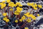 """Ockergelbe Fetthenne - Sedum ochroleucum; Bildquelle: <a href=""""https://www.pflanzen-deutschland.de/quellen.php?bild_quelle=Wikipedia User Ghislain118"""">Wikipedia User Ghislain118</a>; Bildlizenz: <a href=""""https://creativecommons.org/licenses/by-sa/3.0/deed.de"""" target=_blank title=""""Namensnennung - Weitergabe unter gleichen Bedingungen 3.0 Unported (CC BY-SA 3.0)"""">CC BY-SA 3.0</a>; <br>Wiki Commons Bildbeschreibung: <a href=""""https://commons.wikimedia.org/wiki/File:Sedum_ochroleucum_2.jpg"""" target=_blank title=""""https://commons.wikimedia.org/wiki/File:Sedum_ochroleucum_2.jpg"""">https://commons.wikimedia.org/wiki/File:Sedum_ochroleucum_2.jpg</a>"""