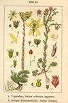 """Gewöhnliche Felsen-Fetthenne - Sedum rupestre; Bildquelle: <a href=""""https://www.pflanzen-deutschland.de/quellen.php?bild_quelle=Deutschlands Flora in Abbildungen 1796"""">Deutschlands Flora in Abbildungen 1796</a>; Bildlizenz: <a href=""""https://creativecommons.org/licenses/publicdomain/deed.de"""" target=_blank title=""""Public Domain"""">Public Domain</a>;"""