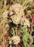"Purpur-Fetthenne - Sedum telephium; Bildquelle: <a href=""https://www.pflanzen-deutschland.de/quellen.php?bild_quelle=Wikipedia User BerndH"">Wikipedia User BerndH</a>; Bildlizenz: <a href=""https://creativecommons.org/licenses/by-sa/3.0/deed.de"" target=_blank title=""Namensnennung - Weitergabe unter gleichen Bedingungen 3.0 Unported (CC BY-SA 3.0)"">CC BY-SA 3.0</a>; <br>Wiki Commons Bildbeschreibung: <a href=""https://commons.wikimedia.org/wiki/File:Sedum_telephium_140805.jpg"" target=_blank title=""https://commons.wikimedia.org/wiki/File:Sedum_telephium_140805.jpg"">https://commons.wikimedia.org/wiki/File:Sedum_telephium_140805.jpg</a>"