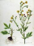 """Gewöhnliches Wasser-Greiskraut - Senecio aquaticus; Bildquelle: <a href=""""https://www.pflanzen-deutschland.de/quellen.php?bild_quelle=Flora Batava of Afbeeldingen en Beschrijving von Nederlandsche gewassen, XII. Deel. 1865"""">Flora Batava of Afbeeldingen en Beschrijving von Nederlandsche gewassen, XII. Deel. 1865</a>; Bildlizenz: <a href=""""https://creativecommons.org/licenses/by-sa/3.0/deed.de"""" target=_blank title=""""Namensnennung - Weitergabe unter gleichen Bedingungen 3.0 Unported (CC BY-SA 3.0)"""">CC BY-SA 3.0</a>;"""
