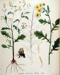 """Spreizendes Wasser-Greiskraut - Senecio erraticus; Bildquelle: <a href=""""https://www.pflanzen-deutschland.de/quellen.php?bild_quelle=Flora Batava. Afbeelding en beschrijving der Nederlandsche Gewassen. 1893"""">Flora Batava. Afbeelding en beschrijving der Nederlandsche Gewassen. 1893</a>; Bildlizenz: <a href=""""https://creativecommons.org/licenses/publicdomain/deed.de"""" target=_blank title=""""Public Domain"""">Public Domain</a>;"""