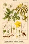 "Gelbes Windröschen - Anemone ranunculoides; Bildquelle: <a href=""https://www.pflanzen-deutschland.de/quellen.php?bild_quelle=Deutschlands Flora in Abbildungen 1796"">Deutschlands Flora in Abbildungen 1796</a>; Bildlizenz: <a href=""https://creativecommons.org/licenses/publicdomain/deed.de"" target=_blank title=""Public Domain"">Public Domain</a>;"