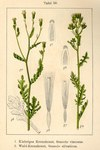 "Klebriges Greiskraut - Senecio viscosus; Bildquelle: <a href=""https://www.pflanzen-deutschland.de/quellen.php?bild_quelle=Deutschlands Flora in Abbildungen 1796"">Deutschlands Flora in Abbildungen 1796</a>; Bildlizenz: <a href=""https://creativecommons.org/licenses/publicdomain/deed.de"" target=_blank title=""Public Domain"">Public Domain</a>;"