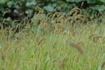 """Grüne Borstenhirse - Setaria viridis; Bildquelle: <a href=""""https://www.pflanzen-deutschland.de/quellen.php?bild_quelle=Wikipedia User Josve05a"""">Wikipedia User Josve05a</a>; Bildlizenz: <a href=""""https://creativecommons.org/licenses/by-sa/2.0/deed.de"""" target=_blank title=""""Namensnennung - Weitergabe unter gleichen Bedingungen 2.0 Unported (CC BY-SA 2.0)"""">CC BY 2.0</a>; <br>Wiki Commons Bildbeschreibung: <a href=""""https://commons.wikimedia.org/wiki/File:Setaria_viridis_(22359894796).jpg"""" target=_blank title=""""https://commons.wikimedia.org/wiki/File:Setaria_viridis_(22359894796).jpg"""">https://commons.wikimedia.org/wiki/File:Setaria_viridis_(22359894796).jpg</a>"""