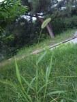 """Grüne Borstenhirse - Setaria viridis; Bildquelle: <a href=""""https://www.pflanzen-deutschland.de/quellen.php?bild_quelle=Wikipedia User Shizhao"""">Wikipedia User Shizhao</a>; Bildlizenz: <a href=""""https://creativecommons.org/licenses/by-sa/3.0/deed.de"""" target=_blank title=""""Namensnennung - Weitergabe unter gleichen Bedingungen 3.0 Unported (CC BY-SA 3.0)"""">CC BY-SA 3.0</a>; <br>Wiki Commons Bildbeschreibung: <a href=""""https://commons.wikimedia.org/wiki/File:Setaria_viridis-beijing.JPG"""" target=_blank title=""""https://commons.wikimedia.org/wiki/File:Setaria_viridis-beijing.JPG"""">https://commons.wikimedia.org/wiki/File:Setaria_viridis-beijing.JPG</a>"""