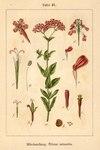 """Nelken-Leimkraut - Silene armeria; Bildquelle: <a href=""""https://www.pflanzen-deutschland.de/quellen.php?bild_quelle=Deutschlands Flora in Abbildungen, Johann Georg Sturm 1796"""">Deutschlands Flora in Abbildungen, Johann Georg Sturm 1796</a>; Bildlizenz: <a href=""""https://creativecommons.org/licenses/publicdomain/deed.de"""" target=_blank title=""""Public Domain"""">Public Domain</a>;"""