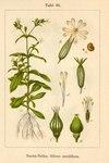 "Acker-Lichtnelke - Silene noctiflora; Bildquelle: <a href=""https://www.pflanzen-deutschland.de/quellen.php?bild_quelle=Deutschlands Flora in Abbildungen 1796"">Deutschlands Flora in Abbildungen 1796</a>; Bildlizenz: <a href=""https://creativecommons.org/licenses/publicdomain/deed.de"" target=_blank title=""Public Domain"">Public Domain</a>;"