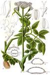 "Sumpf-Engelwurz - Angelica palustris; Bildquelle: <a href=""https://www.pflanzen-deutschland.de/quellen.php?bild_quelle=Deutschlands Flora in Abbildungen 1796"">Deutschlands Flora in Abbildungen 1796</a>; Bildlizenz: <a href=""https://creativecommons.org/licenses/publicdomain/deed.de"" target=_blank title=""Public Domain"">Public Domain</a>;"