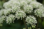 "Wald-Engelwurz - Angelica sylvestris; Bildquelle: <a href=""https://www.pflanzen-deutschland.de/quellen.php?bild_quelle=Wikipedia User Danny S."">Wikipedia User Danny S.</a>; Bildlizenz: <a href=""https://creativecommons.org/licenses/by-sa/3.0/deed.de"" target=_blank title=""Namensnennung - Weitergabe unter gleichen Bedingungen 3.0 Unported (CC BY-SA 3.0)"">CC BY-SA 3.0</a>; <br>Wiki Commons Bildbeschreibung: <a href=""https://commons.wikimedia.org/wiki/File:Angelica_sylvestris_by_Danny_S._-_004.jpg"" target=_blank title=""https://commons.wikimedia.org/wiki/File:Angelica_sylvestris_by_Danny_S._-_004.jpg"">https://commons.wikimedia.org/wiki/File:Angelica_sylvestris_by_Danny_S._-_004.jpg</a>"