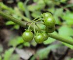"""Schwarzer Nachtschatten - Solanum nigrum; Bildquelle: <a href=""""https://www.pflanzen-deutschland.de/quellen.php?bild_quelle=Wikipedia User Vinayaraj"""">Wikipedia User Vinayaraj</a>; Bildlizenz: <a href=""""https://creativecommons.org/licenses/by-sa/3.0/deed.de"""" target=_blank title=""""Namensnennung - Weitergabe unter gleichen Bedingungen 3.0 Unported (CC BY-SA 3.0)"""">CC BY-SA 3.0</a>; <br>Wiki Commons Bildbeschreibung: <a href=""""https://commons.wikimedia.org/wiki/File:Solanum_nigrum_22.JPG"""" target=_blank title=""""https://commons.wikimedia.org/wiki/File:Solanum_nigrum_22.JPG"""">https://commons.wikimedia.org/wiki/File:Solanum_nigrum_22.JPG</a>"""