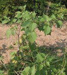 """Schwarzer Nachtschatten - Solanum nigrum; Bildquelle: <a href=""""https://www.pflanzen-deutschland.de/quellen.php?bild_quelle=Wikipedia User Taragui"""">Wikipedia User Taragui</a>; Bildlizenz: <a href=""""https://creativecommons.org/licenses/by-sa/3.0/deed.de"""" target=_blank title=""""Namensnennung - Weitergabe unter gleichen Bedingungen 3.0 Unported (CC BY-SA 3.0)"""">CC BY-SA 3.0</a>;"""