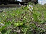 """Glanzfrüchtiger Nachtschatten - Solanum physalifolium; Bildquelle: <a href=""""https://www.pflanzen-deutschland.de/quellen.php?bild_quelle=Wikipedia User Nonenmac"""">Wikipedia User Nonenmac</a>; Bildlizenz: <a href=""""https://creativecommons.org/licenses/by-sa/3.0/deed.de"""" target=_blank title=""""Namensnennung - Weitergabe unter gleichen Bedingungen 3.0 Unported (CC BY-SA 3.0)"""">CC BY-SA 3.0</a>;"""