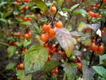 """Dreiblütiger Nachtschatten - Solanum triflorum; Bildquelle: <a href=""""https://www.pflanzen-deutschland.de/quellen.php?bild_quelle=Wikipedia User TeunSpaans"""">Wikipedia User TeunSpaans</a>; Bildlizenz: <a href="""""""" target=_blank title=""""""""></a>;"""