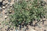 """Dreiblütiger Nachtschatten - Solanum triflorum; Bildquelle: <a href=""""https://www.pflanzen-deutschland.de/quellen.php?bild_quelle=Wikipedia User Kenraiz"""">Wikipedia User Kenraiz</a>; Bildlizenz: <a href=""""https://creativecommons.org/licenses/by/4.0/deed.de"""" target=_blank title=""""Namensnennung 4.0 International (CC BY 4.0)"""">CC BY 4.0</a>; <br>Wiki Commons Bildbeschreibung: <a href=""""https://commons.wikimedia.org/wiki/File:Solanum_triflorum_kz05.jpg"""" target=_blank title=""""https://commons.wikimedia.org/wiki/File:Solanum_triflorum_kz05.jpg"""">https://commons.wikimedia.org/wiki/File:Solanum_triflorum_kz05.jpg</a>"""