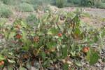 "Gelbfrüchtiger Nachtschatten - Solanum villosum; Bildquelle: <a href=""https://www.pflanzen-deutschland.de/quellen.php?bild_quelle=Wikipedia User Kenraiz"">Wikipedia User Kenraiz</a>; Bildlizenz: <a href=""https://creativecommons.org/licenses/by/4.0/deed.de"" target=_blank title=""Namensnennung 4.0 International (CC BY 4.0)"">CC BY 4.0</a>; <br>Wiki Commons Bildbeschreibung: <a href=""https://commons.wikimedia.org/wiki/File:Solanum_villosum_kz1.jpg"" target=_blank title=""https://commons.wikimedia.org/wiki/File:Solanum_villosum_kz1.jpg"">https://commons.wikimedia.org/wiki/File:Solanum_villosum_kz1.jpg</a>"