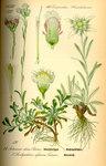 """Gewöhnliches Katzenpfötchen - Antennaria dioica; Bildquelle: <a href=""""https://www.pflanzen-deutschland.de/quellen.php?bild_quelle=Prof. Dr. Otto Wilhelm Thom� Flora von Deutschland, Österreich und der Schweiz 1885, Gera, Germany"""">Prof. Dr. Otto Wilhelm Thom� Flora von Deutschland, Österreich und der Schweiz 1885, Gera, Germany</a>; Bildlizenz: <a href=""""https://creativecommons.org/licenses/publicdomain/deed.de"""" target=_blank title=""""Public Domain"""">Public Domain</a>;"""