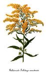 "Kanadische Goldrute - Solidago canadensis; Bildquelle: <a href=""https://www.pflanzen-deutschland.de/quellen.php?bild_quelle=Wikipedia User DcoetzeeBot"">Wikipedia User DcoetzeeBot</a>; Bildlizenz: <a href=""https://creativecommons.org/licenses/by-sa/3.0/deed.de"" target=_blank title=""Namensnennung - Weitergabe unter gleichen Bedingungen 3.0 Unported (CC BY-SA 3.0)"">CC BY-SA 3.0</a>; <br>Wiki Commons Bildbeschreibung: <a href=""https://commons.wikimedia.org/wiki/File:Solidago_canadensis-2,_by_Mary_Vaux_Walcott.jpg"" target=_blank title=""https://commons.wikimedia.org/wiki/File:Solidago_canadensis-2,_by_Mary_Vaux_Walcott.jpg"">https://commons.wikimedia.org/wiki/File:Solidago_canadensis-2,_by_Mary_Vaux_Walcott.jpg</a>"