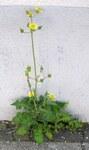 """Kohl Gänsedistel - Sonchus oleraceus; Bildquelle: <a href=""""https://www.pflanzen-deutschland.de/quellen.php?bild_quelle=Wikipedia User Wilhelm Zimmerling PAR"""">Wikipedia User Wilhelm Zimmerling PAR</a>; Bildlizenz: <a href=""""https://creativecommons.org/licenses/by/4.0/deed.de"""" target=_blank title=""""Namensnennung 4.0 International (CC BY 4.0)"""">CC BY 4.0</a>; <br>Wiki Commons Bildbeschreibung: <a href=""""https://commons.wikimedia.org/wiki/File:Ruhland,_Markt_4,_Gew%C3%B6hnliche_G%C3%A4nsedistel_am_Wegrand,_bl%C3%BChende_Pflanze,_Fr%C3%BChsommer,_01.jpg"""" target=_blank title=""""https://commons.wikimedia.org/wiki/File:Ruhland,_Markt_4,_Gew%C3%B6hnliche_G%C3%A4nsedistel_am_Wegrand,_bl%C3%BChende_Pflanze,_Fr%C3%BChsommer,_01.jpg"""">https://commons.wikimedia.org/wiki/File:Ruhland,_Markt_4,_Gew%C3%B6hnliche_G%C3%A4nsedistel_am_Wegrand,_bl%C3%BChende_Pflanze,_Fr%C3%BChsommer,_01.jpg</a>"""