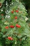 """Vogelbeere - Sorbus aucuparia; Bildquelle: © <a href=""""https://www.pflanzen-deutschland.de/quellen.php?bild_quelle=Bönisch 2009"""">Bönisch 2009</a> - <b>All rights reserved</b>"""