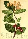 """Zwerg-Mehlbeere - Sorbus chamaemespilus; Bildquelle: <a href=""""https://www.pflanzen-deutschland.de/quellen.php?bild_quelle=Anton Hartinger, Atlas der Alpenflora 1882"""">Anton Hartinger, Atlas der Alpenflora 1882</a>; Bildlizenz: <a href=""""https://creativecommons.org/licenses/by-sa/3.0/deed.de"""" target=_blank title=""""Namensnennung - Weitergabe unter gleichen Bedingungen 3.0 Unported (CC BY-SA 3.0)"""">CC BY-SA 3.0</a>;"""