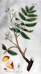"""Speierling - Sorbus domestica; Bildquelle: <a href=""""https://www.pflanzen-deutschland.de/quellen.php?bild_quelle=Adolphus Ypey 1813"""">Adolphus Ypey 1813</a>; Bildlizenz: <a href=""""https://creativecommons.org/licenses/by-sa/3.0/deed.de"""" target=_blank title=""""Namensnennung - Weitergabe unter gleichen Bedingungen 3.0 Unported (CC BY-SA 3.0)"""">CC BY-SA 3.0</a>;"""