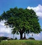 """Elsbeere - Sorbus torminalis; Bildquelle: <a href=""""https://www.pflanzen-deutschland.de/quellen.php?bild_quelle=Wikipedia User J.-H. Janssen"""">Wikipedia User J.-H. Janssen</a>; Bildlizenz: <a href=""""https://creativecommons.org/licenses/by-sa/3.0/deed.de"""" target=_blank title=""""Namensnennung - Weitergabe unter gleichen Bedingungen 3.0 Unported (CC BY-SA 3.0)"""">CC BY-SA 3.0</a>;"""