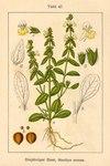 """Einjähriger Ziest - Stachys annua; Bildquelle: <a href=""""https://www.pflanzen-deutschland.de/quellen.php?bild_quelle=Deutschlands Flora in Abbildungen 1796"""">Deutschlands Flora in Abbildungen 1796</a>; Bildlizenz: <a href=""""https://creativecommons.org/licenses/publicdomain/deed.de"""" target=_blank title=""""Public Domain"""">Public Domain</a>;"""