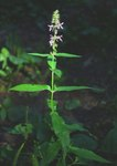 "Sumpf-Ziest - Stachys palustris; Bildquelle: <a href=""https://www.pflanzen-deutschland.de/quellen.php?bild_quelle=Wikipedia User Franz Xaver"">Wikipedia User Franz Xaver</a>; Bildlizenz: <a href=""https://creativecommons.org/licenses/by-sa/3.0/deed.de"" target=_blank title=""Namensnennung - Weitergabe unter gleichen Bedingungen 3.0 Unported (CC BY-SA 3.0)"">CC BY-SA 3.0</a>;"