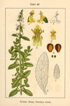 "Aufrechter Ziest - Stachys recta; Bildquelle: <a href=""https://www.pflanzen-deutschland.de/quellen.php?bild_quelle=Deutschlands Flora in Abbildungen 1796"">Deutschlands Flora in Abbildungen 1796</a>; Bildlizenz: <a href=""https://creativecommons.org/licenses/publicdomain/deed.de"" target=_blank title=""Public Domain"">Public Domain</a>;"