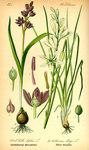 """Traubige Graslilie - Anthericum liliago; Bildquelle: <a href=""""https://www.pflanzen-deutschland.de/quellen.php?bild_quelle=Prof. Dr. Otto Wilhelm Thome Flora von Deutschland, Österreich und der Schweiz 1885, Gera, Germany"""">Prof. Dr. Otto Wilhelm Thome Flora von Deutschland, Österreich und der Schweiz 1885, Gera, Germany</a>; Bildlizenz: <a href=""""https://creativecommons.org/licenses/publicdomain/deed.de"""" target=_blank title=""""Public Domain"""">Public Domain</a>;"""