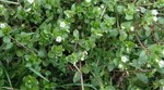 """Gewöhnliche Vogelmiere - Stellaria media; Bildquelle: <a href=""""https://www.pflanzen-deutschland.de/quellen.php?bild_quelle=Wikipedia User Ursus sapien"""">Wikipedia User Ursus sapien</a>; Bildlizenz: <a href=""""https://creativecommons.org/licenses/by-sa/3.0/deed.de"""" target=_blank title=""""Namensnennung - Weitergabe unter gleichen Bedingungen 3.0 Unported (CC BY-SA 3.0)"""">CC BY-SA 3.0</a>; <br>Wiki Commons Bildbeschreibung: <a href=""""https://commons.wikimedia.org/wiki/File:Stellaria_media,_chickweed.jpg"""" target=_blank title=""""https://commons.wikimedia.org/wiki/File:Stellaria_media,_chickweed.jpg"""">https://commons.wikimedia.org/wiki/File:Stellaria_media,_chickweed.jpg</a>"""