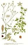 """Gewöhnliche Vogelmiere - Stellaria media; Bildquelle: <a href=""""https://www.pflanzen-deutschland.de/quellen.php?bild_quelle=Carl Axel Magnus Lindman Bilder ur Nordens Flora 1901-1905"""">Carl Axel Magnus Lindman Bilder ur Nordens Flora 1901-1905</a>; Bildlizenz: <a href=""""https://creativecommons.org/licenses/publicdomain/deed.de"""" target=_blank title=""""Public Domain"""">Public Domain</a>;"""