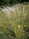 "Grauscheidiges Federgras - Stipa pennata; Bildquelle: <a href=""https://www.pflanzen-deutschland.de/quellen.php?bild_quelle=Wikipedia User Meneerke bloem"">Wikipedia User Meneerke bloem</a>; Bildlizenz: <a href=""https://creativecommons.org/licenses/by-sa/3.0/deed.de"" target=_blank title=""Namensnennung - Weitergabe unter gleichen Bedingungen 3.0 Unported (CC BY-SA 3.0)"">CC BY-SA 3.0</a>; <br>Wiki Commons Bildbeschreibung: <a href=""https://commons.wikimedia.org/wiki/File:Stipa_pennata_001.JPG"" target=_blank title=""https://commons.wikimedia.org/wiki/File:Stipa_pennata_001.JPG"">https://commons.wikimedia.org/wiki/File:Stipa_pennata_001.JPG</a>"