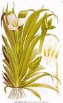"""Krebsschere - Stratiotes aloides; Bildquelle: <a href=""""https://www.pflanzen-deutschland.de/quellen.php?bild_quelle=Carl Axel Magnus Lindman Bilder ur Nordens Flora 1901-1905"""">Carl Axel Magnus Lindman Bilder ur Nordens Flora 1901-1905</a>; Bildlizenz: <a href=""""https://creativecommons.org/licenses/publicdomain/deed.de"""" target=_blank title=""""Public Domain"""">Public Domain</a>;"""