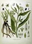 """Arznei-Beinwell - Symphytum officinale; Bildquelle: <a href=""""http://www.pflanzen-deutschland.de/quellen.php?bild_quelle=Köhlers Medizinal-Pflanzen in naturgetreuen Abbildungen mit kurz erläuterndem Texte. Band 1. 1887"""">Köhlers Medizinal-Pflanzen in naturgetreuen Abbildungen mit kurz erläuterndem Texte. Band 1. 1887</a>; Bildlizenz: <a href=""""https://creativecommons.org/licenses/publicdomain/deed.de"""" target=_blank title=""""Public Domain"""">Public Domain</a>;"""